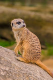 Meerkat or suricat watching out for enimies Royalty Free Stock Photo