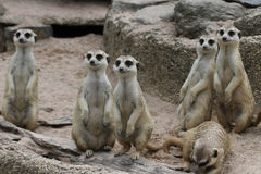 Meerkat Suricata2 image libre de droits