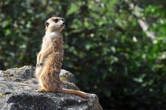 Meerkat (Suricata) Lizenzfreie Stockfotos