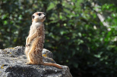 Meerkat (Suricata) Photos libres de droits