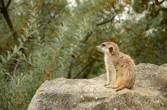 Meerkat (Suricata) Arkivfoton