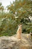 Meerkat (Suricata) Arkivbilder