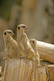 Meerkat (suricata) del suricata 25 Fotografia Stock
