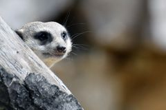 Meerkat Suricata die, suricatta achter de boom gluren Stock Foto