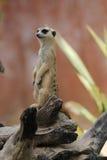 Meerkat-Suricata entspannen sich Stockbilder