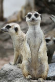 Meerkat Suricata (2). Meerkat Suricata is looking at camera (2 Stock Photography