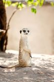 Meerkat, Suricata Royalty Free Stock Photo