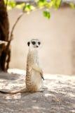 Meerkat, Suricata royalty free stock photo