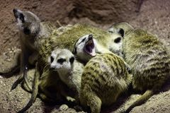 Meerkat Suricata seeds as well as insects , also known as meerkats are sleeping together in a heap, one sweet yawns royalty free stock photos