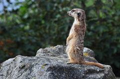 Meerkat (Suricata) Royalty Free Stock Photo