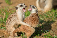 Meerkat - (Suricata suricata). Two female meerkat find out attitudes among themselves Stock Image