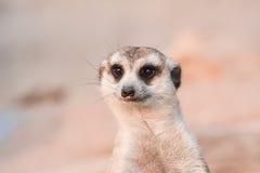 meerkat suricata suricate suricatta obrazy royalty free