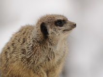 Meerkat (Suricata Suricatta) Royalty Free Stock Photography