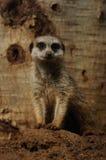 Meerkat (Suricata Suricatta) Royalty Free Stock Photography