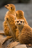 Meerkat (Suricata suricatta). A group of four animals Royalty Free Stock Photos