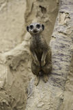 Meerkat, Suricata suricatta. A desert mongoose from Africa, standing up looking alertly at the camera Stock Image