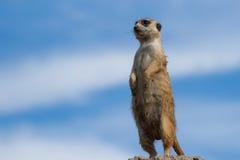 Meerkat (Suricata suricatta) Obraz Stock