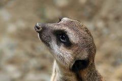 Meerkat (Suricata suricatta) Stock Image