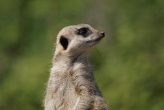 Meerkat - Suricata suricatta. Close-up image of a Meerkat - Suricata suricatta Royalty Free Stock Photography