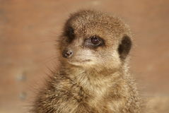 Meerkat - Suricata suricatta. Close-up image of a Meerkat - Suricata suricatta Royalty Free Stock Photos