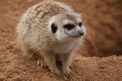 Meerkat - Suricata suricatta. Close-up image of a Meerkat - Suricata suricatta Stock Images