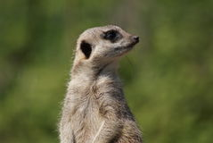 Meerkat - Suricata suricatta. Close-up image of a Meerkat - Suricata suricatta Royalty Free Stock Photo