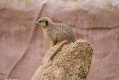 Meerkat - Suricata suricatta. Close-up image of a Meerkat - Suricata suricatta Stock Photo