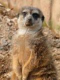 Meerkat - Suricata suricatta Lizenzfreie Stockfotos