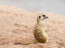 Meerkat (Suricata suricatta) Lizenzfreies Stockfoto
