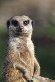 Meerkat (Suricata-suricatta) Royalty-vrije Stock Foto's