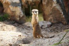 Meerkat Suricata suricatta Zdjęcia Stock