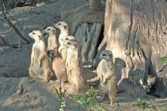 meerkat suricata suricatta Obrazy Stock