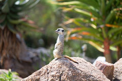 Meerkat (Suricata suricatta), also known as the suricate. Wild l Royalty Free Stock Photos