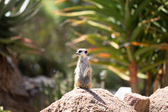Meerkat (Suricata suricatta), also known as the suricate. Wild l Royalty Free Stock Images
