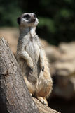 Meerkat (Suricata suricatta), also known as the suricate. Royalty Free Stock Image