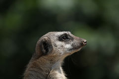 Meerkat (Suricata suricatta), also known as the suricate. Stock Image