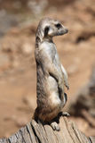 Meerkat (Suricata suricatta), also known as the suricate. Royalty Free Stock Photo