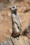 Meerkat (Suricata suricatta), also known as the suricate. Royalty Free Stock Photos