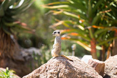 Meerkat (Suricata suricatta), also known as the suricate. Royalty Free Stock Images