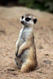Meerkat (Suricata suricatta). Royalty Free Stock Images