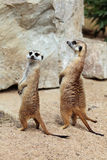 Meerkat (Suricata suricatta), also known as the suricate. Royalty Free Stock Photography