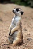 Meerkat (Suricata suricatta), also known as the suricate. Royalty Free Stock Photography