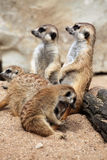 Meerkat (Suricata suricatta), also known as the suricate. Royalty Free Stock Photos