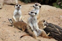 Meerkat (Suricata suricatta), also known as the suricate. Stock Photography