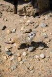 Meerkat Suricata suricatta, also known as the suricate. Wildlife animal Stock Photos