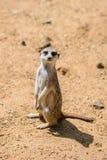 Meerkat Suricata suricatta, also known as the suricate. Wildlife animal Royalty Free Stock Photography