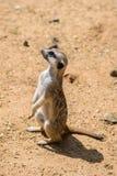 Meerkat Suricata suricatta, also known as the suricate. Wildlife animal Stock Photography
