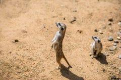 Meerkat Suricata suricatta, also known as the suricate. Wildlife animal Royalty Free Stock Images