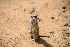 Meerkat Suricata suricatta, also known as the suricate. Wildlife animal Royalty Free Stock Photo