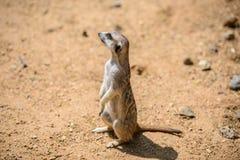 Meerkat Suricata suricatta, also known as the suricate. Wildlife animal Stock Photo